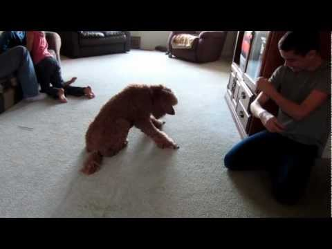 Red standard poodle working on her tricks