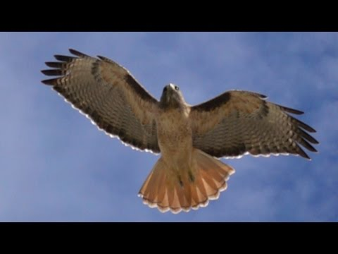 Red Tailed Hawk catching a mouse filmed at 960fps frames per second