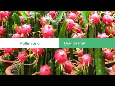 Hand pollinate dragon fruit plants for more fruits