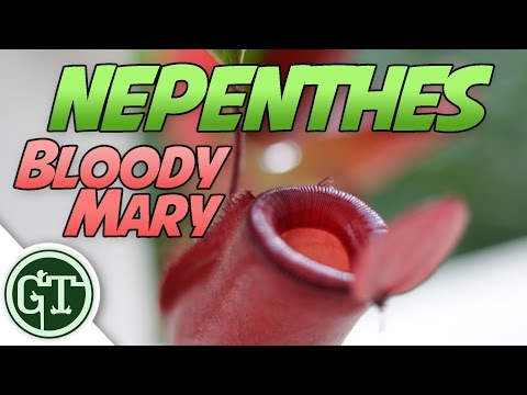 Nepenthes Bloody Mary NEW SNEAKY PURCHASE   Carnivorous Plants