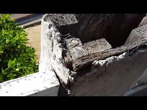 Massive ant infestation