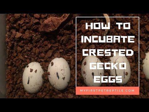 How to Incubate Crested Gecko Eggs. My First Pet Reptile Episode 2