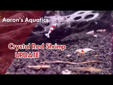 🦐 Crystal Red Shrimp - Tank Update! 🦐