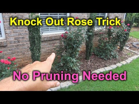 How to Prune Knock Out Rose - Roses Falling Over
