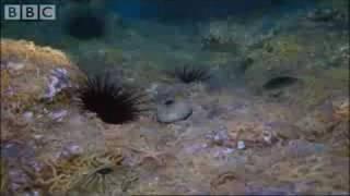 Army of Sea Urchins - Planet Earth - BBC Wildlife
