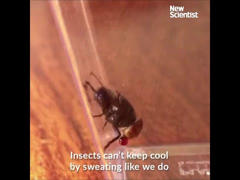 Flies blow bubbles to keep cool