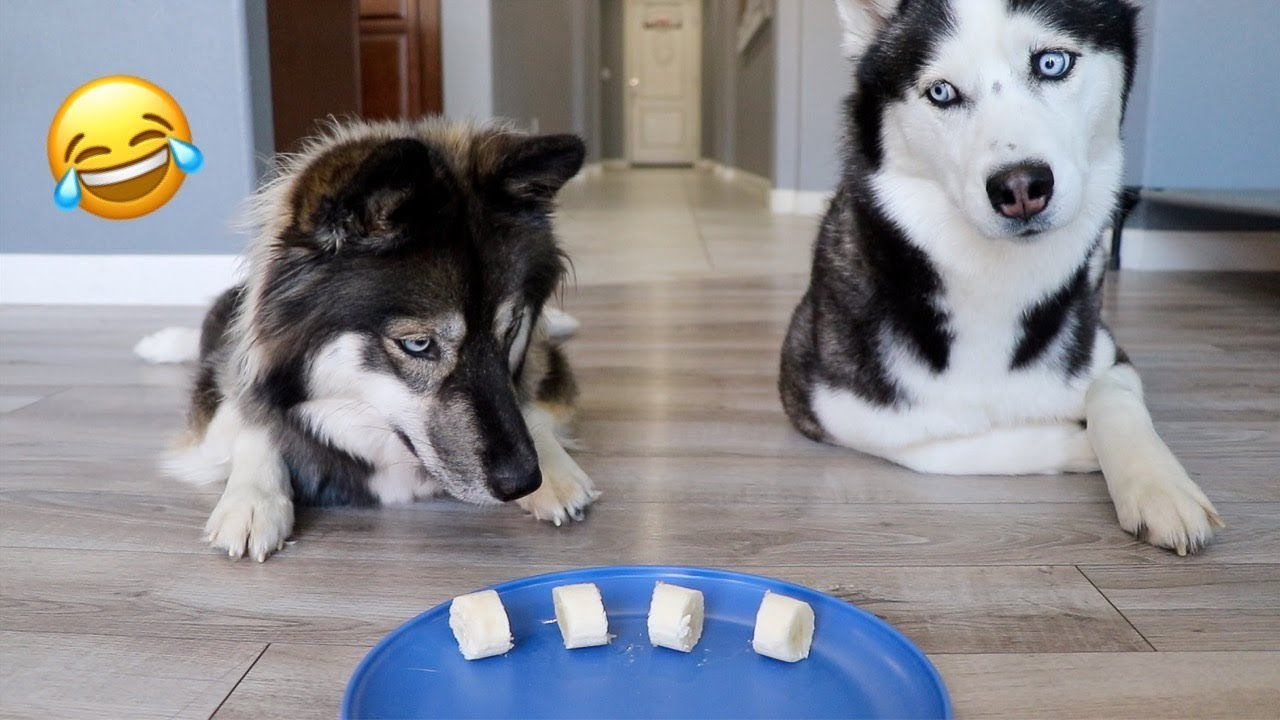 Will My Huskies Steal Food While I'm Away?