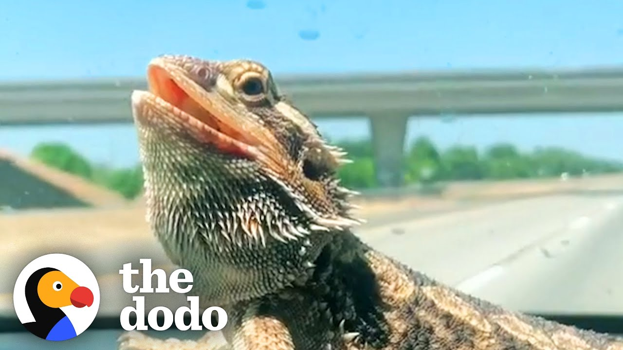 Bearded Dragon Comes Running When His Mom Calls Him   The Dodo Soulmates