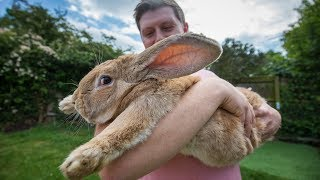 3ft Long Bunny Set To Become World's Biggest Rabbit