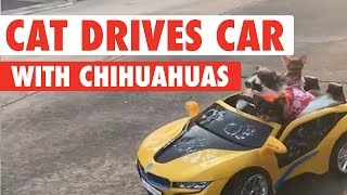 Cat Drives Chihuahuas Around In Tiny Car
