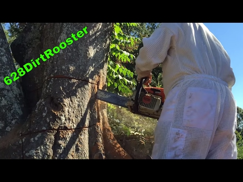 Chain Sawing Capone's Bee Tree - Honey Bee Hive Partial Removal From A Dead Water Oak