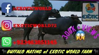Kundi buffalo mating🐃🐃||exotic world||