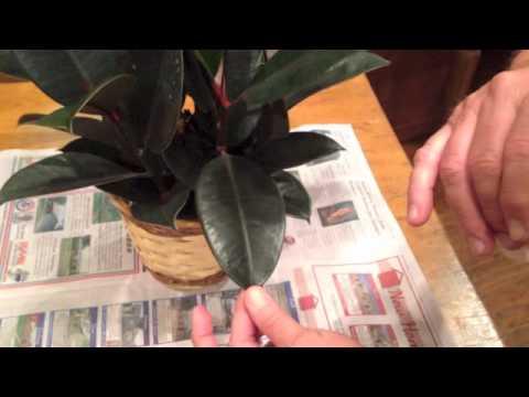 Green Glo Plant Polish & Cleaner