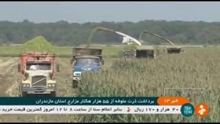 Iran Corn leaves Mechanized harvest as farm animals food, Mazandaran برگ ذرت خوراك دام مازندران