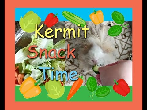 Kermit the Guinea Pig Snack Time