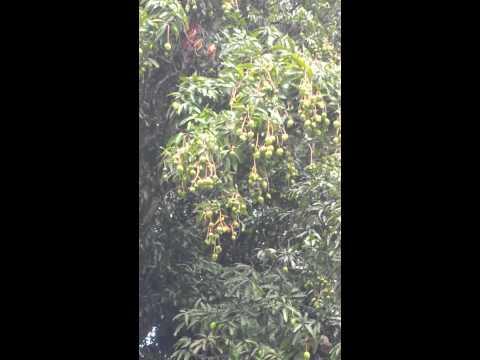 Large mango tree in hawaii