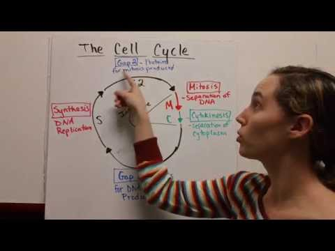 The Cell Cycle - Mitosis