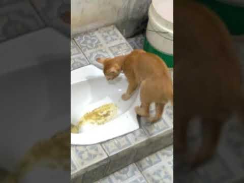 Xxx Mp4 Kucingku Yang Pintar BAB Dan Kencing Selalu Di Toilet 😍 3gp Sex
