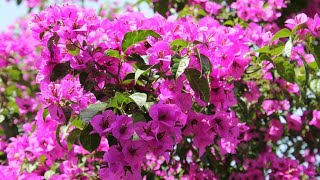 How to grow Bougainvillea cuttings ? || 28 May, 2017