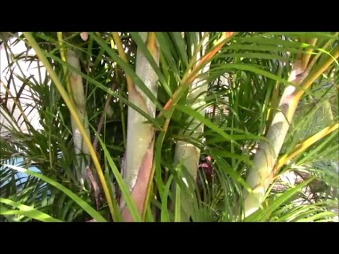 Areca Palm Stump and Re-CLUMP the Clump!  The Secret to Success - Part 1