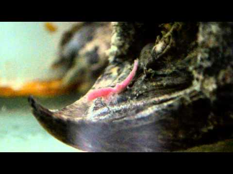 Alligator Snapping Turtle Tongue