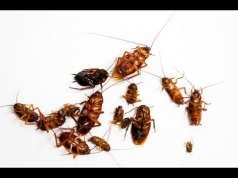 Cockroach Infestation Treatment How To Use Boric Acid To Kill Roaches