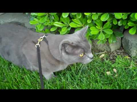 Chartreux Cat walking on leash(Home video #2)