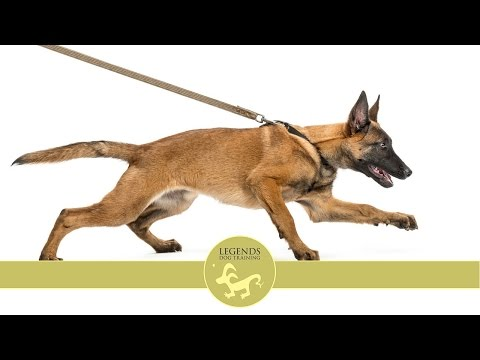 Anxiety on Leash: Counter-condition Dogs to Distractions