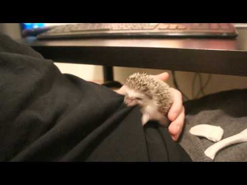 Hedgehog vs. T-Shirt