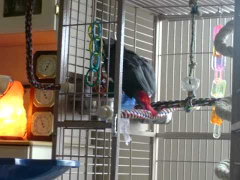 Zazu  Congo African Grey Parrot bathing in cage water dish