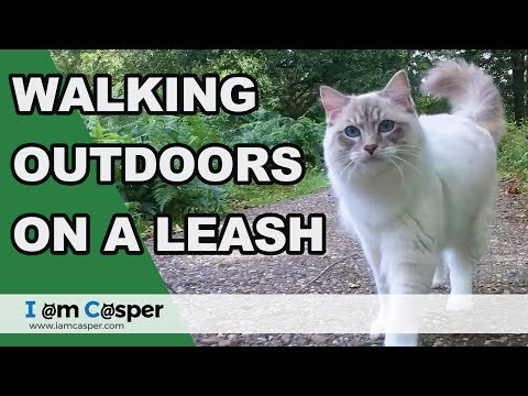 Casper our Indoor Ragdoll Cat walking outdoors on the leash
