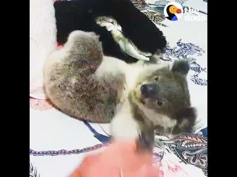 Baby Koala Found All Alone Is So Happy Now