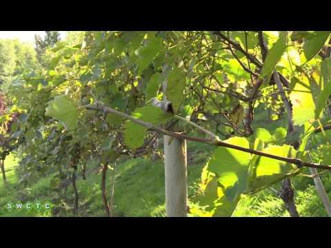 Zachman's Backyard Vineyard
