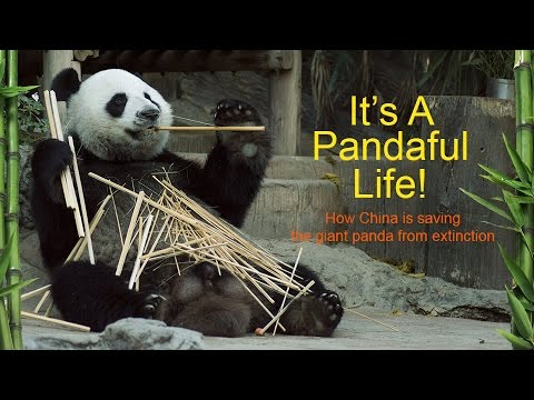 IT'S A PANDAFUL LIFE! How China is saving the giant panda from extinction (Trailer) Premiere 4/1