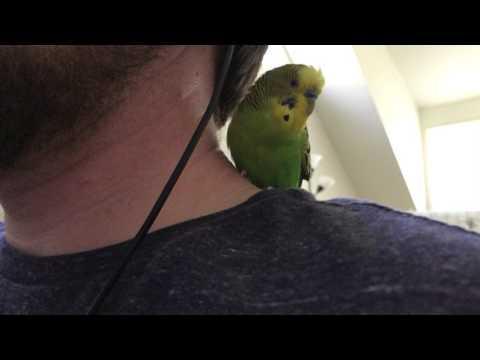 Kiwi the molting parakeet talks on my shoulder!