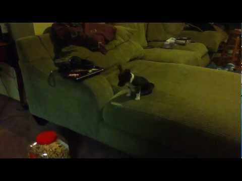 Small Puppy Jumps Off Couch