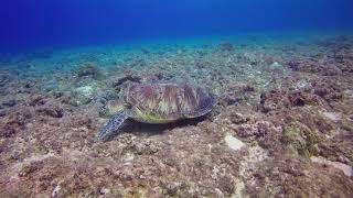 Green turtle in the sea