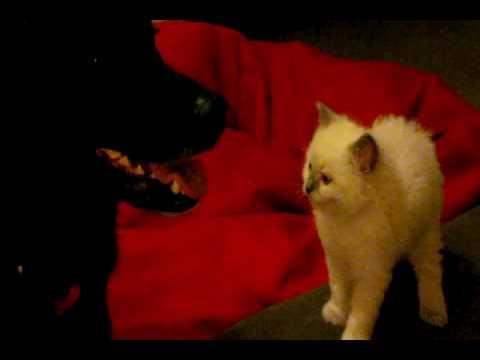 Ragdoll Kitten meets Retriever x Dog