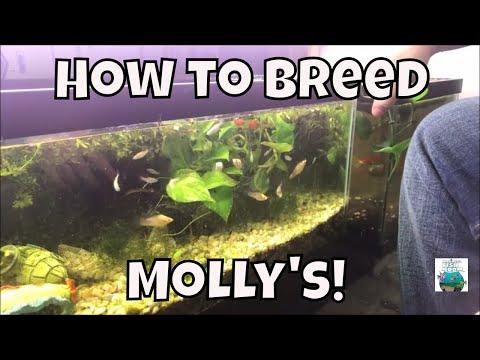 How To Breed Molly's Breeding Molly fish For Profit Aquarium Fish Room VLOG