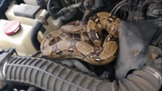 Man Discovers Boa Constrictor in Car Hood: 'My Heart Stopped'