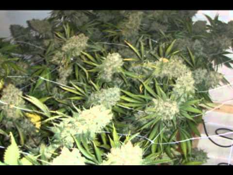 building a 5 Plants, legal medical marijuana grow room part 04 - http://www.limbo-co.com
