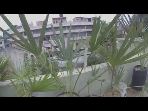 Palm Roots Trimming _ Yr013