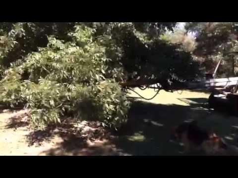 Shaking a pecan tree