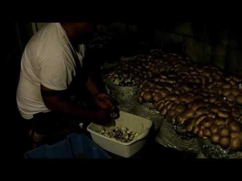 Harvesting, Cleaning Portobello Mushrooms on the Farm | Jason Asselin