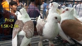 All Types Of Fancy Pigeon For Sale | Fancy pigeon Cost in India