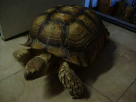 Sulcata tortoise climbs back in the house