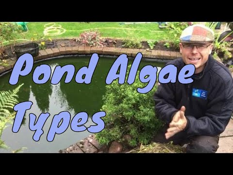 What are the types of algae in garden ponds   Any Pond Limited   UK