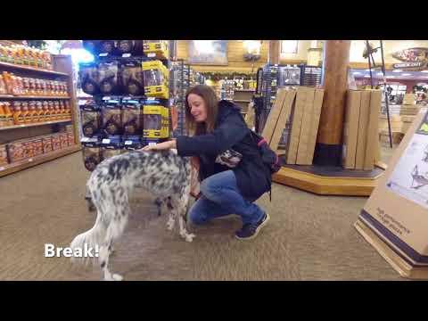 Best Dog Training in Columbus, Ohio! 1.5 Year Old English Setter, Phoebe!