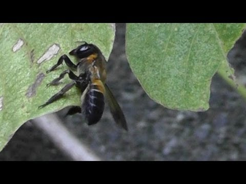 Leaf-cutting bee - Real Japan Monsters