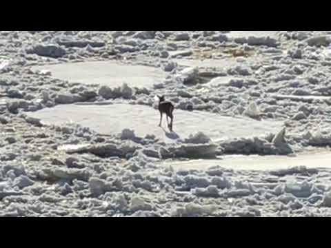 Deer Stranded on Ice Chunk on St. John River, ME